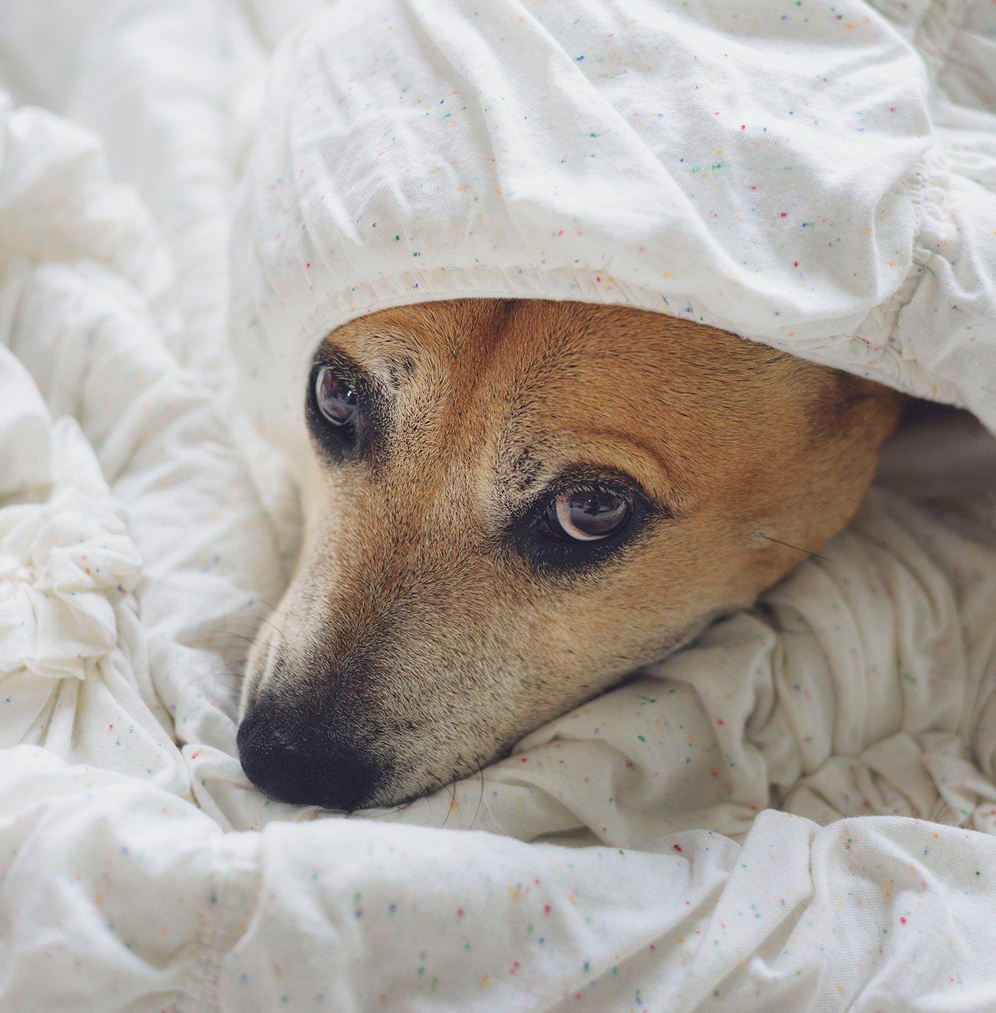 The Christmas Beagle